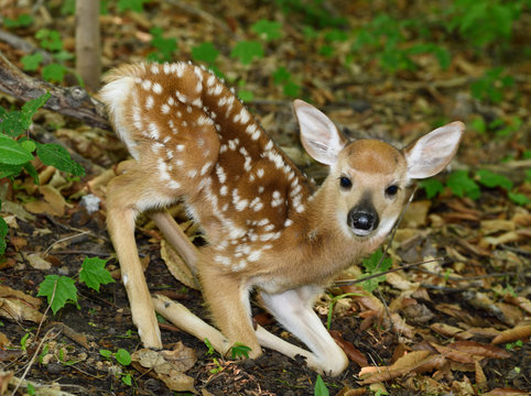 Day old tiny white tailed deer fawn with spots getting up on spindly legs in a forest Toronto