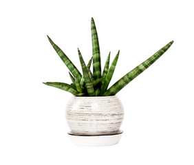 Potted Sansevieria cylindrica var. patula (Boncel) isolated on white background