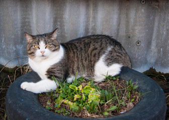 Early spring, mongrel white-gray cat with yellow eyes and a disgruntled expression on the face lies on a flower bed