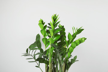 Poster Planten Beautiful Zamioculcas home plant on grey background