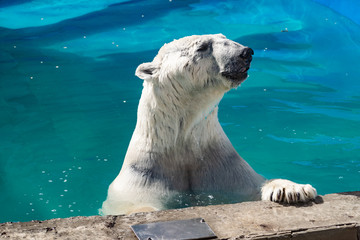 Beautiful polar bear in the zoo, in the blue pool, in a spacious enclosure. A large mammal with fluffy fur and large paws. Life in captivity, good content, cool water.