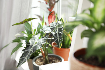 Different green potted plants near window at home