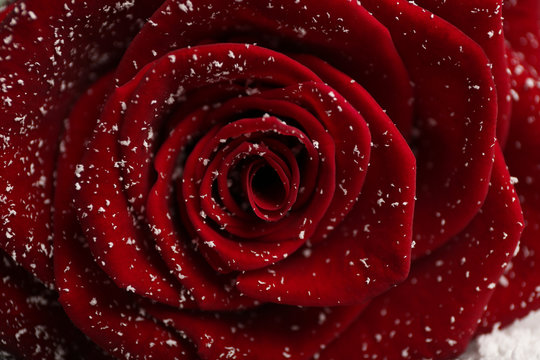 Beautiful red rose with snow as background, closeup