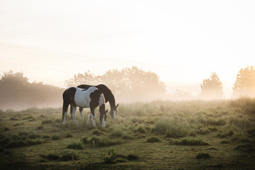 Two horses grazing in a misty field at sunrise