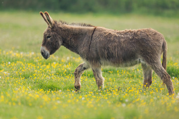 Wall Mural - donkey in the meadow