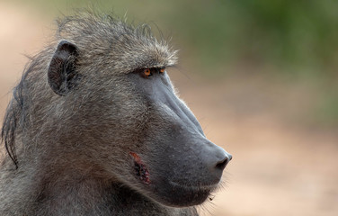 The side profile of the head of a baboon, Papio ursinus, looking out of frame,Londolozi Game Reserve