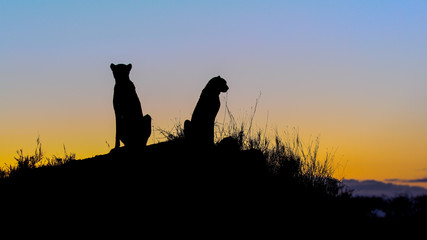 A silhouette of two cheetah, Acinonyx jubatus, as they sit on a termite mound at sunset ,Londolozi Game Reserve