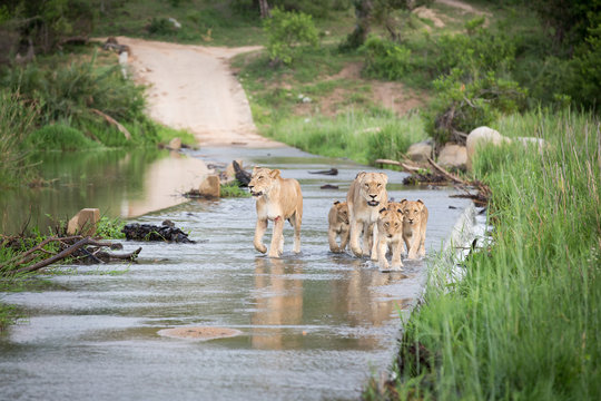 A pride of lions and cubs, Panthera leo, cross the causeway of a river, looking out of frame, flanked by greenery ,Londolozi Game Reserve