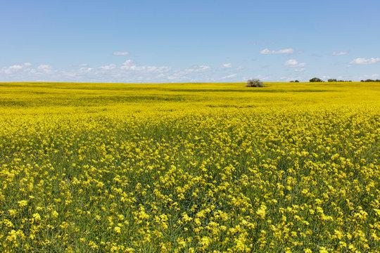 Field of flowering mustard crop in Spring ,Spring crop