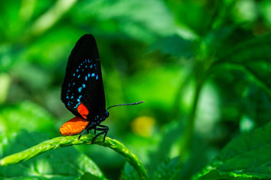 Beautiful small Atala hairstreak butterfly perched on green plant  stem