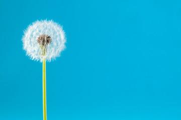 Canvas Prints Dandelion dandelion on a blue background. Lettering space