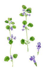 Hand drawn watercolor illustration of ground-ivy (Glechoma hederacea), isolated on white background.