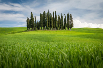 A group of Mediterranean Cypress trees on a picturesque afternoon in Tuscany, Italy.