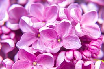 Foto op Aluminium Lilac beautiful dark purple fresh lilac macro on a pink background, violet background, spring background, place for text, top view