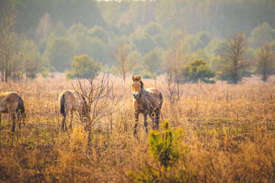 wild przewalski's horses in the chernobyl exclusion zone