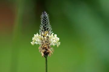 Makro einer Spitzwegerichblüte innerhalb der Naturheilmedizin