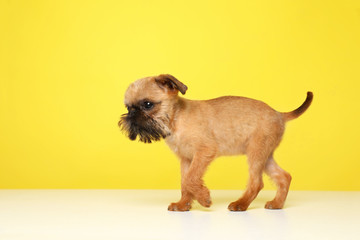 Studio portrait of funny Brussels Griffon dog on color background