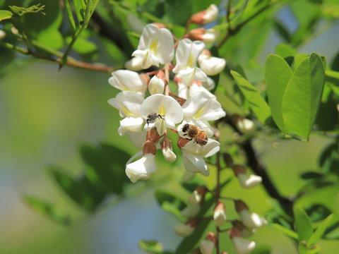 ニセアカシア Locust tree
