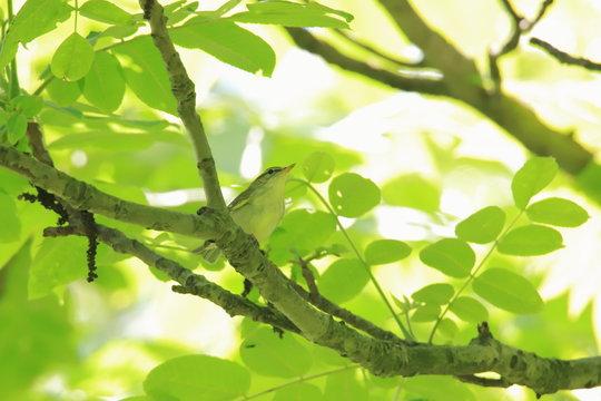 森の中の小鳥 Birds in the forest