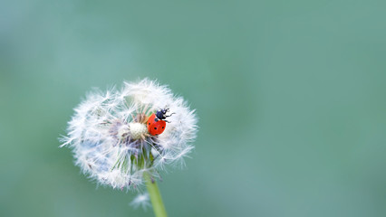 Ladybug and fluffy dandelion. ladybug and white dandelions on nature defocused background. template for summer vacations. copy space. close up,
