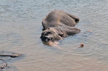 Asia Elephant bath in river Ceylon.