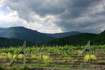 Sunlit young vineyard against mountain