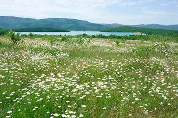 Spring meadow with blooming chamomiles
