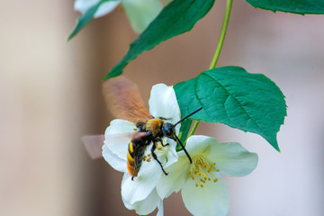 A large bee takes nectar from a jasmine flower. Beautiful picture.