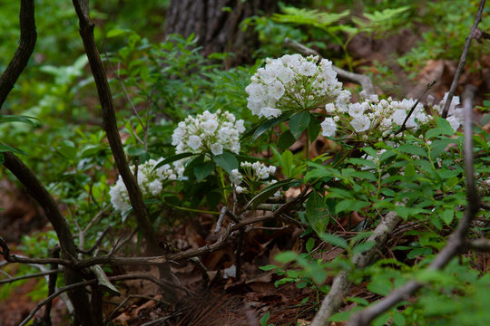 Pennsylvania Mountain Laurel In Bloom - State Flower Of PA