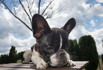 Portrait picture of a French Bulldog puppy who is standing on the table