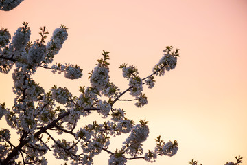 Branches with blossom against pink sunset sky.