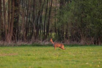 Roe deer doe in meadow in springtime in evening sunlight.