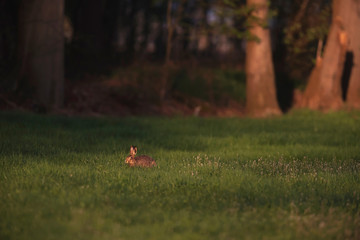 Hare in forest meadow in spring in evening sunlight.