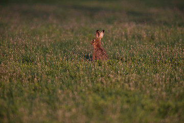 Hare in spring meadow in evening sunlight.