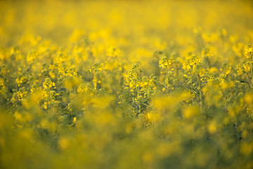 Close-up of rapeseed field in evening sunlight.