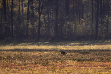 Greylag goose in meadow in early spring at sunrise.