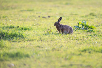 Hare sitting in sunny meadow.