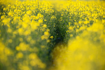 Close-up of a rapeseed field.