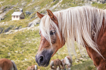 Horses on Alpine Pasture, Haflinger, Merano, South Tyrol, Italy, xxl+more: bartussek.xmstore