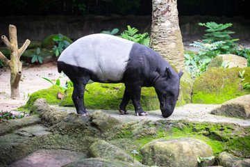 Side view of a Tapir with its head lowered