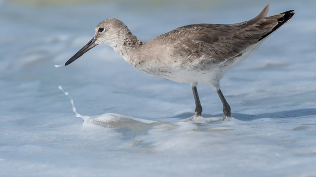 Willet searching for food