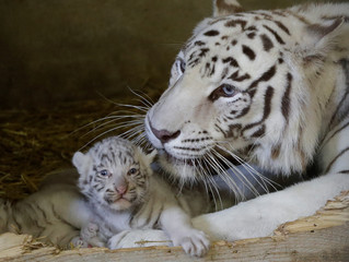 A white Bengal tiger cub, who was born in May, and its mother Burani are seen at the White Zoo in Kernhof