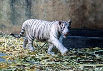 A white Bengal tiger cub is seen at the zoo in Managua