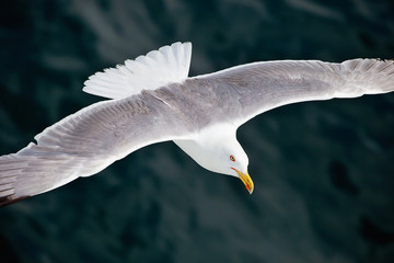 Wall Mural - Seagul flying over the sea