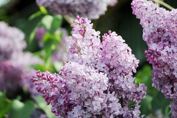 Beauty the blooming vinous lilac in the spring, macro