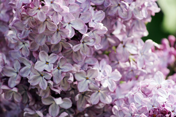 Beauty the blooming vinous lilac in the spring