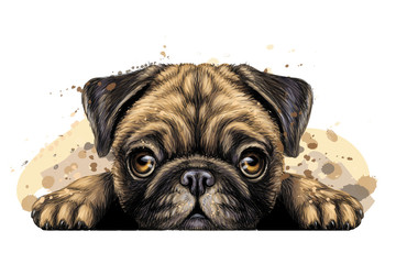 Pug. Wall sticker. Artistic graphic, hand-drawn color portrait of the head of a pug breed dog on a white background with splashes of watercolor. Wall mural