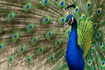 Peacock side profile