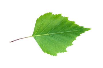 Green leaf of birch tree isolated on white background.