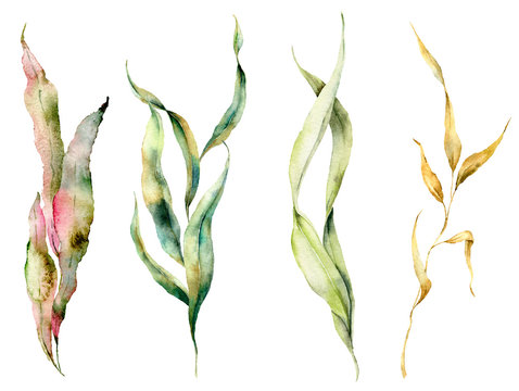 Watercolor seaweed set with laminaria branches. Hand painted underwater floral illustration with algae leaves isolated on white background. For design, fabric or print.